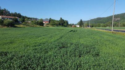 Sigbjorn Leidal vekstregulering og soppbekjemping