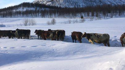 Vinter kyr langfjordbotn nrf foto Ida Karlstrom