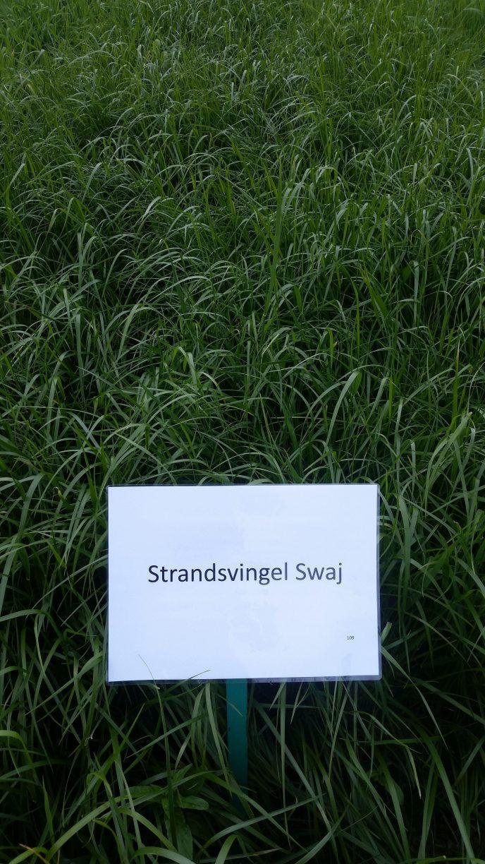 20190528 Strandsvingel Swaj Foto Ragnhild Renna
