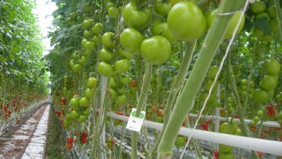 Tomater i veksthus Foto Annichen Smith Eriksen