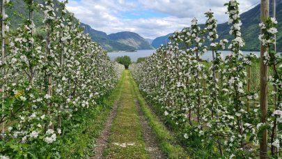 Fruktblomstring fjord og fjell