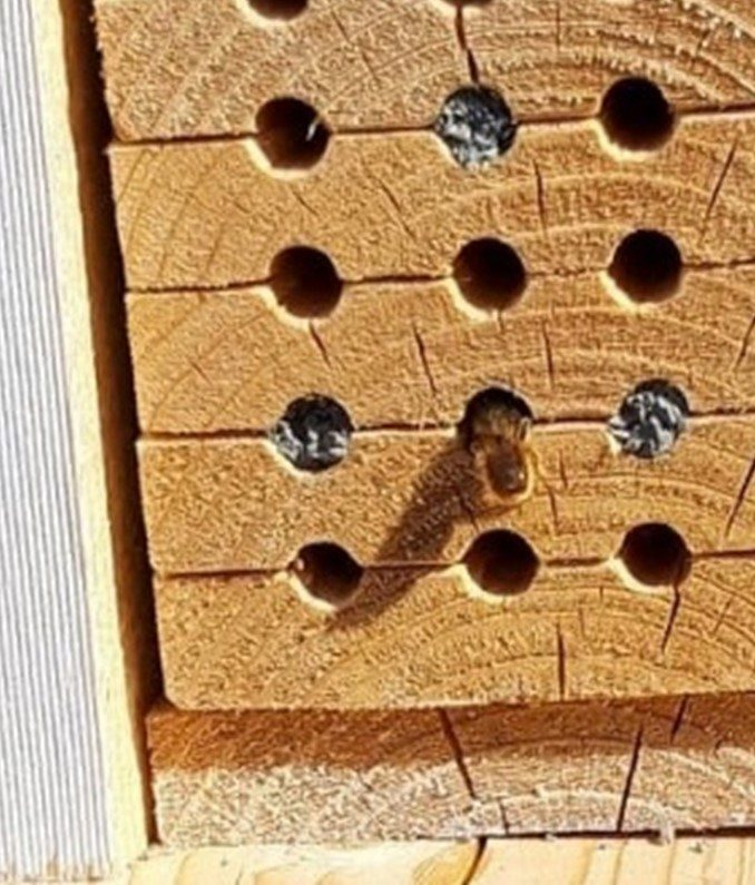 Hull i tre er populære hos de solitære biene, og de trekker gjerne til hull som har vært benyttet tidligere. Foto: John Ingar Øverland